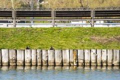 Canards sur une barrière en bois dans l'étang Photos libres de droits