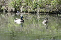 Canards sur une eau de lac en nature Images stock
