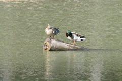 Canards sur une eau de lac en nature Images libres de droits