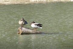 Canards sur une eau de lac en nature Photographie stock