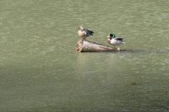 Canards sur une eau de lac en nature Image stock