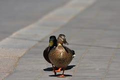Canards sur une promenade Image stock
