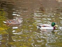 Canards sur une rivière photo stock