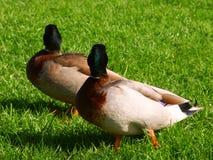 Canards timides de Mallard d'appareil-photo Image libre de droits