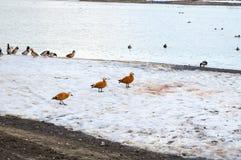 Canards vermeils de coquille sur le rivage Photos libres de droits