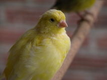 Canari. Yellow canary Stock Images