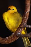 Canari brillant images stock