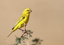 Canari jaune Image stock