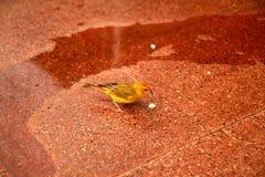 Canari jaune Photo libre de droits