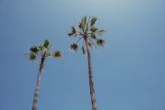Canarian棕榈树 库存照片