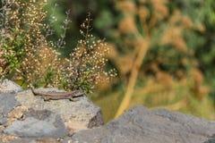 Canarian爬行动物Tizon阿苏尔峰 国立公园泰德峰,特内里费岛 库存图片
