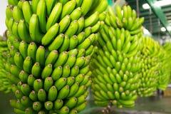 Canarian banan Platano i La Palma Arkivbild