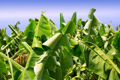 Canarian Banana plantation Platano in La Palma Stock Photo