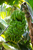 Canarian Banana plantation Platano in La Palma Royalty Free Stock Images