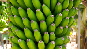 Canarian banankoloni Platano i La Palma Royaltyfri Bild