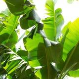Canarian banankoloni Platano i La Palma Arkivfoto
