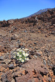 Canarian camomile in stone desert. Royalty Free Stock Image