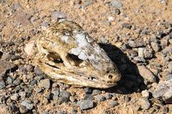 Canarian Dry Lizard Skull. Bone in the Desert Royalty Free Stock Photo