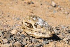 Canarian Dry Lizard Skull. Bone in the Desert Royalty Free Stock Photography