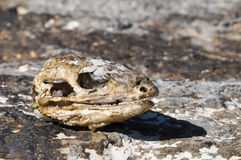 Canarian Dry Lizard Skull Stock Photos