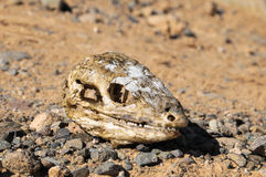 Canarian Dry Lizard Skull Stock Photography