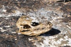 Canarian Dry Lizard Skull. Bone in the Desert Stock Photo
