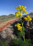 Canarian giant fennel - ferula lancerottensis Royalty Free Stock Images