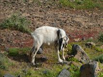 Canarian island goat on a hill of fuerteventura Royalty Free Stock Photos
