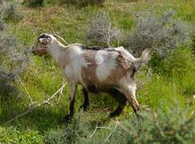 Canarian island goat on a hill of fuerteventura Royalty Free Stock Images