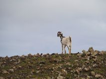Canarian island goat on a hill of fuerteventura Stock Photos