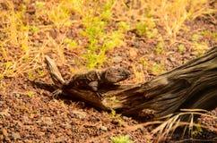 Canarian Lizard Stock Photos