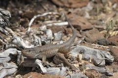 Canarian lizard Stock Image