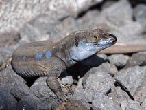 Canarian Lizard. A Canarian Lizard on vulcano rocks stock images