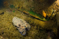 Canarian Lobster. Scyllarus arctus, canarian lobster or slipper lobster in a wreck at Lanzarote, Atlantic ocean royalty free stock photo