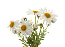Canarian marguerite daisy. Flowers isolated on white background stock photography