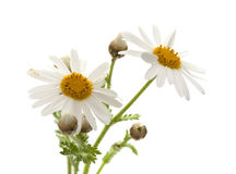 Canarian marguerite daisy. Flowers isolated on white background stock images
