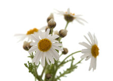 Canarian marguerite daisy. Flowers isolated on white background royalty free stock image