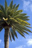 Canarian Palm 2. Canarian Palm taken against a blue sky in Telde in Gran Canaria royalty free stock photo