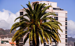 Canarian Palm Tree Royalty Free Stock Photos