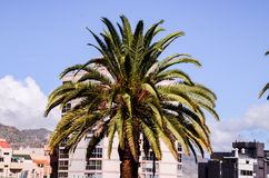 Canarian Palm Tree Royalty Free Stock Photography