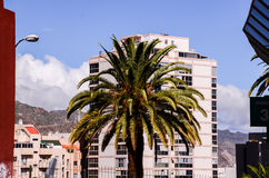 Canarian Palm Tree Stock Image