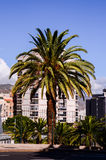 Canarian Palm Tree Royalty Free Stock Photo