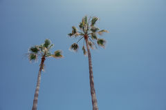 Canarian Palm trees. Palm trees reaching for the sky Stock Photo