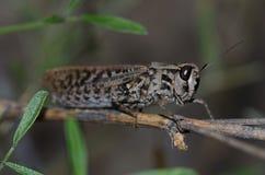 Canarian pincer grasshopper. Calliptamus plebeius. Female. Cruz de Pajonales. The Nublo Rural Park. Tejeda. Gran Canaria. Canary Islands. Spain Royalty Free Stock Photo