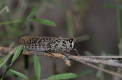 Canarian pincer grasshopper. Calliptamus plebeius. Female. Cruz de Pajonales. The Nublo Rural Park. Tejeda. Gran Canaria. Canary Islands. Spain Royalty Free Stock Photos