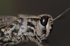 Canarian pincer grasshopper. Calliptamus plebeius. Female. Cruz de Pajonales. The Nublo Rural Park. Tejeda. Gran Canaria. Canary Islands. Spain Stock Image