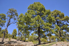 Canarian pine forest Royalty Free Stock Photos