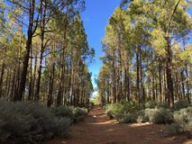 Forest in Gran Canaria, España. Royalty Free Stock Images