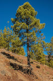 Canarian pine tree. Beautiful pine tree or Pinus Canariensis, native to the Canary Islands, Spain, growing at high altitudes in Teide National Park, Tenerife Royalty Free Stock Photography
