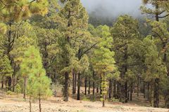 Canarian pine tree forest. In Tenerife, Spain stock photography
